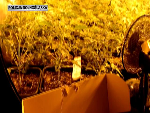 <small>Dolny Śląsk</small> Zlikwidowane 3 plantacje konopi oraz  duża ilość marihuany