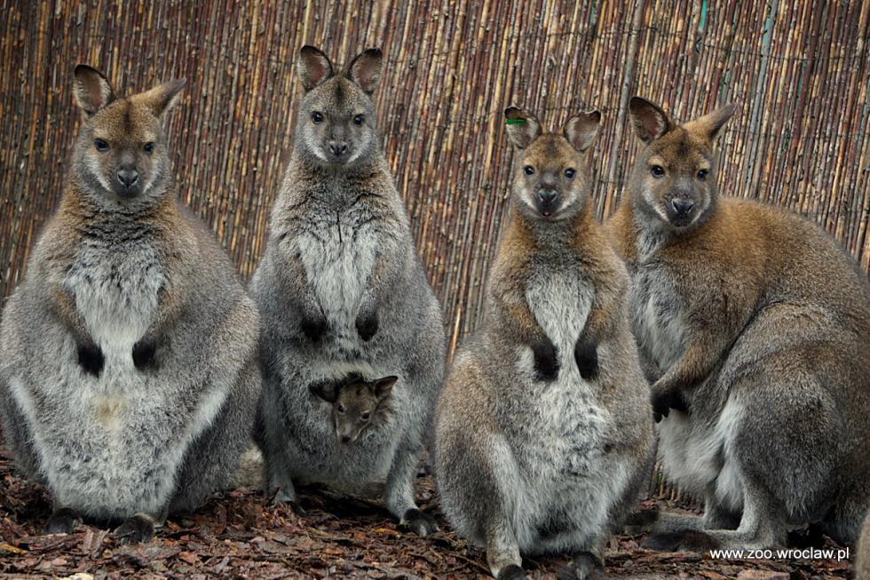 Kangur, który oddał życie, by zostać koalą