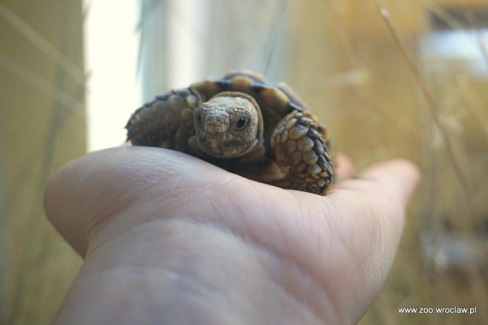 ZOO Wrocław - na ratunek najmniejszym żółwiom świata